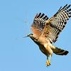 Description - Red-shouldered Hawk <b>Title - Red-shouldered Hawk with Nesting Material</b> <i>- Meg Puente</i>