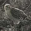 Description - Red-shouldered Hawk <b>Title - Hawk Camouflage</b> <i>- Michael Wilson</i>