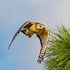 Red-shouldered Hawk On the Hunt