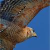 Description - Red-shouldered Hawk <b>Title - Red-shouldered Hawk in Flight</b> <i>- Herb Zaifert</i>