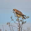 Description - Red-shouldered Hawk <b>Title - Hawk</b> <i>- Marilynne Strazzeri</i>