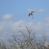 Red-shouldered Hawk with Snake