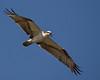 Description - Osprey in Flight <b>Title - Osprey Hunting</b> <i>- Melinda Moore</i>