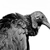 <b>Title - Black Vulture</b> <i>- Joe Dell</i>