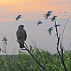 Hawk and Cattle Egrets at Sunset