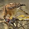 Description -  Red-shouldered Hawk <b>Title - Poor Gallinule</b> <i>- Meg Puente</i>