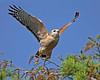 Description - Red-shouldered Hawk Taking Flight <b>Title - Red-Shouldered Hawk</b> <i>- Tom Rasmussen</i>