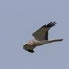 Northern Harrier - Male