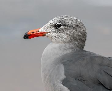 Heermann's gull Portrait