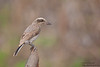 Common Woodshrike - Kutch, Gujrat, India
