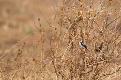 White-crested Helmet-shrike - Tarangire National Park, Tanzania