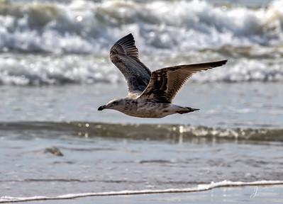 hering Gull