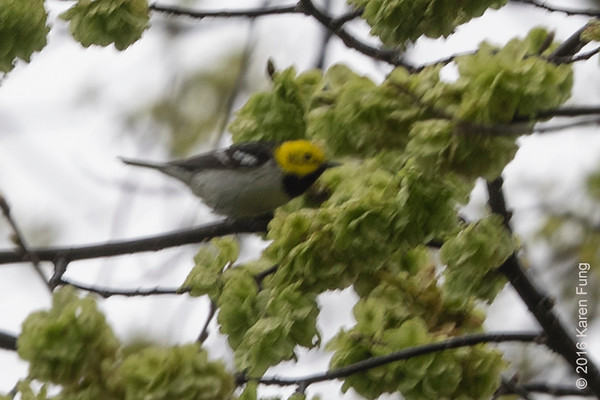 1  May 2016: Hermit Warbler in Central Park (cropped to ~100%)