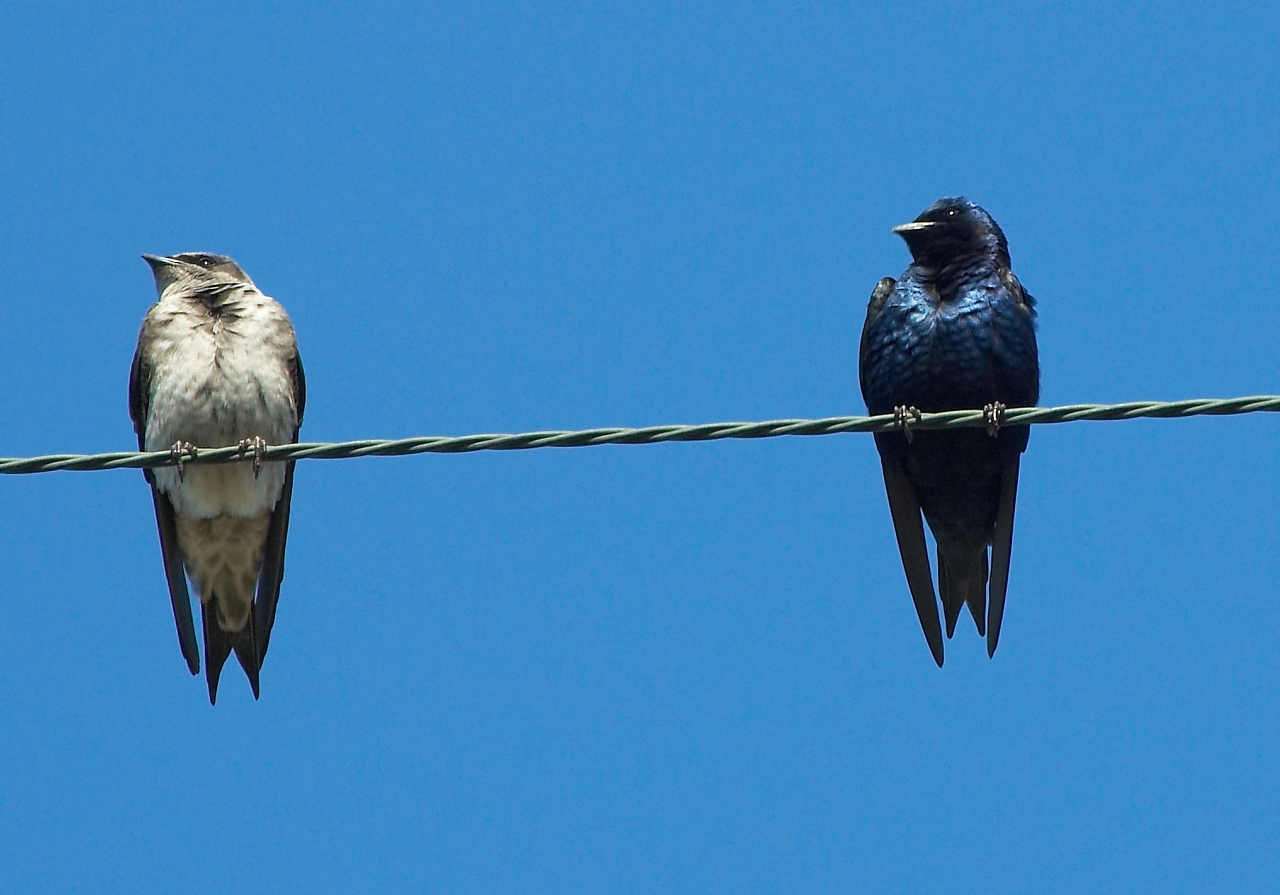 Female & Male Purple Martin's