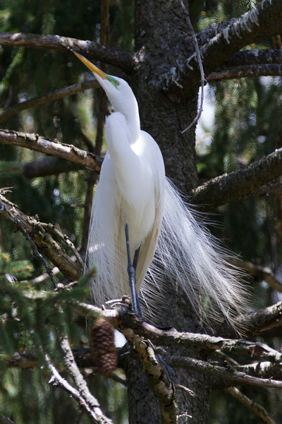 Great White Egret with mating plumage