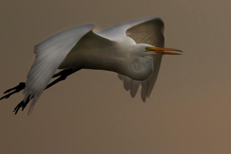 Great white egret flying at sunset