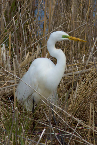 Adult great white egret in marshes