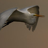 Great white egret flying at sunset