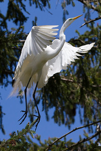 Adult Great White Egret flying from evergreen nest in the rookery to get more sticks