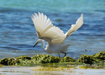 Snowy Egret Feeding in the Surf