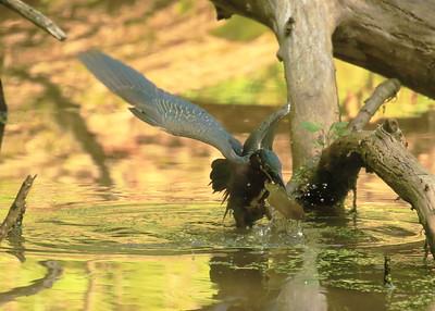 Green Heron Eating