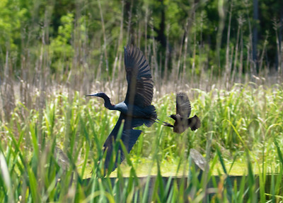 Little Blue Heron and Red Wing Blackbird