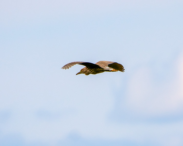 Black-Capped Night Heron in Flight