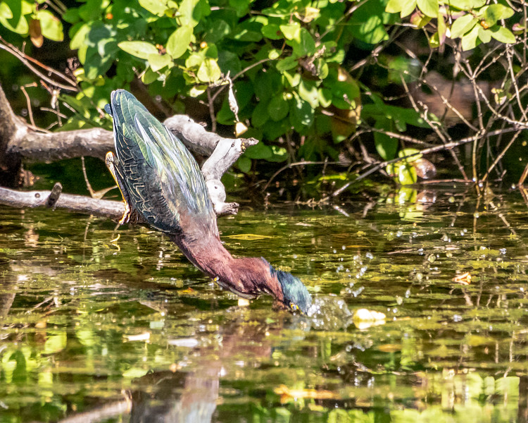 """Green Heron - """"I am going for it"""""""