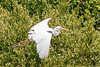 Great White Heron (b1911)