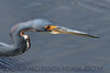 Tricolored Heron (b1014)