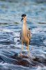 """black-crowned night heron, Nycticorax nycticorax hoactli, or """" auku'u """", fishes in intertidal zone, indigenous to Hawaii but also found in North and South America, Honaunau Hawaii ( Central Pacific Ocean )"""