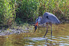 Blue Heron (b0982)