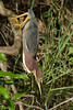 Green Heron (b0996)