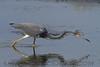 Tricolored Heron (b1015)