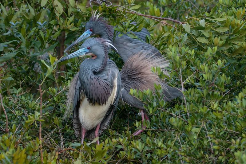 Tri Color Heron (b1019)