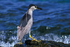 black-crowned night heron, Nycticorax nycticorax hoactli, or auku'u, fishes in intertidal zone, indigenous to Hawaii but also found in North and South America, Honaunau Hawaii ( Central Pacific Ocean )