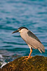 "black-crowned night heron, Nycticorax nycticorax hoactli, or "" auku'u "", indigenous to Hawaii but also found in North and South America, Honaunau Hawaii ( Central Pacific Ocean )"