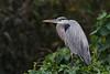 Blue Heron (b0983)