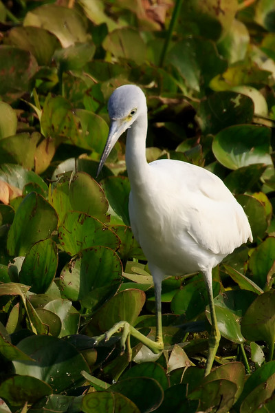 Little Blue Heron (b1004)