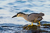 black-crowned night heron, Nycticorax nycticorax hoactli, or auku'u, prepares to lunge for fish in intertidal zone, indigenous to Hawaii but also found in North and South America, Honaunau Hawaii ( Central Pacific Ocean )