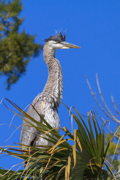 Blue Heron (b0984)
