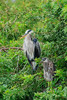 Great Blue Heron (b0987)