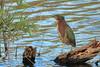 Green Heron (b0994)