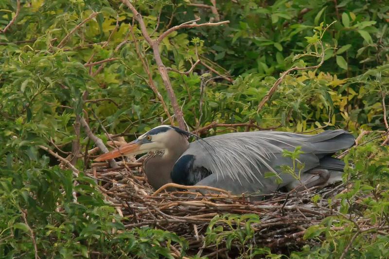 Blue Heron (b0985)