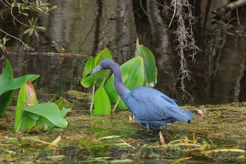 Little Blue Heron (b1003)