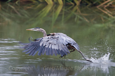 This is another look at the great blue running across a shallow pond.