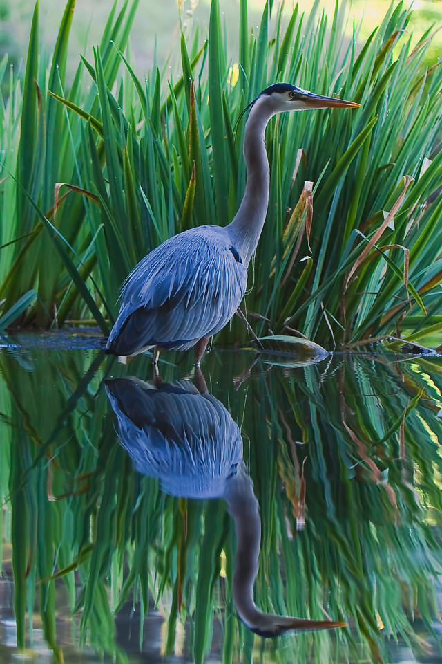 Blue heron facing right