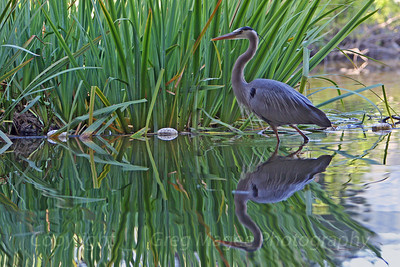 Heron in cattails