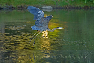 Great blue heron in reflected sunlight