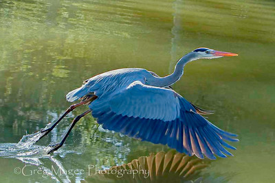 True Colors of this Back Lit Heron